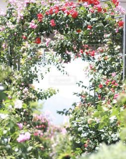 花のトンネルの写真・画像素材[3203253]