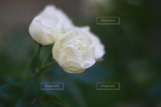 白いバラの写真・画像素材[3208195]