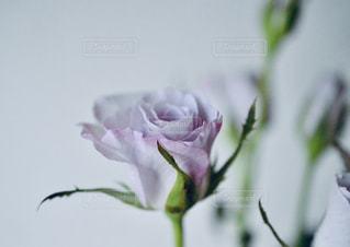 淡い紫の薔薇の写真・画像素材[3292997]