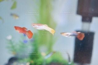 熱帯魚グッピーの写真・画像素材[3353786]
