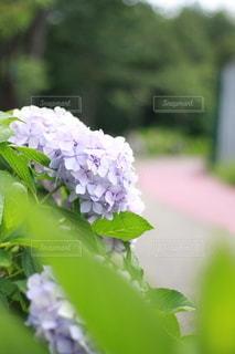 紫陽花ロードの写真・画像素材[3378851]