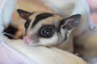 動物のクローズアップ フクロモモンガの写真・画像素材[3593947]