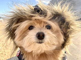 エスキモーの犬みたいの写真・画像素材[3944697]