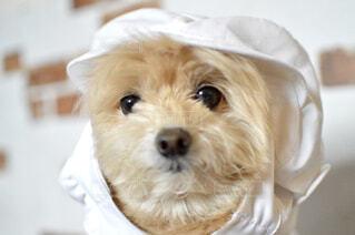 パティシエ犬ころすけの写真・画像素材[4341134]