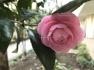 ひっそりと咲く美しい椿の写真・画像素材[1331537]
