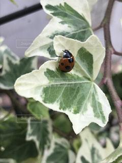 てんとう虫は幸せの象徴の写真・画像素材[1332688]