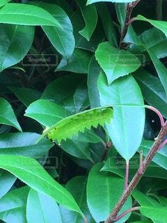 ギザギザの虫を見つけたの写真・画像素材[1335373]