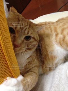 座椅子の背にじゃれる猫の写真・画像素材[1343602]