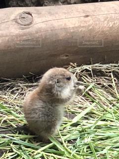 上野動物園のプレーリードッグの写真・画像素材[1345376]