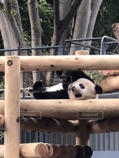 パンダの写真・画像素材[1711770]