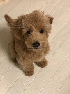 カメラを見つめる子犬の写真・画像素材[1332383]