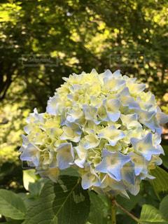 紫陽花の写真・画像素材[1336873]
