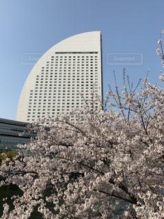 インターコンチネンタルホテルと桜の写真・画像素材[1986990]