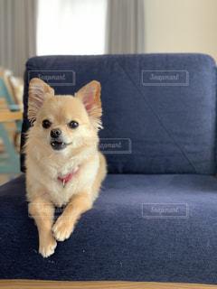 ソファに座っているチワワの写真・画像素材[3229312]