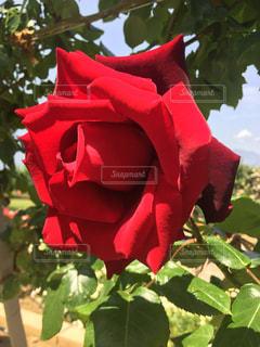 近くに赤い花のアップの写真・画像素材[1331460]