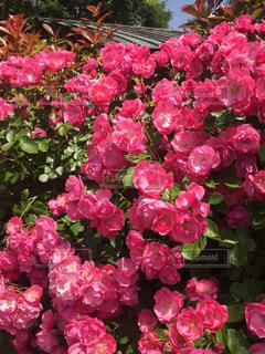 複数のバラの写真・画像素材[1331464]