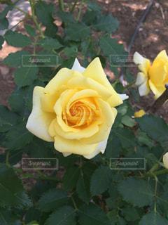 近くの花のアップの写真・画像素材[1331473]