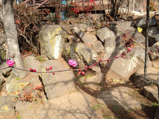 梅の花の写真・画像素材[1333688]