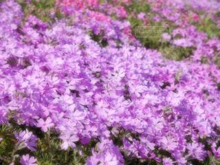芝桜の写真・画像素材[1334046]
