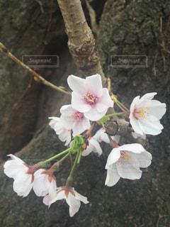 桜の写真・画像素材[1334322]