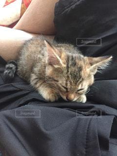 俺の上で寝る猫の写真・画像素材[1334493]