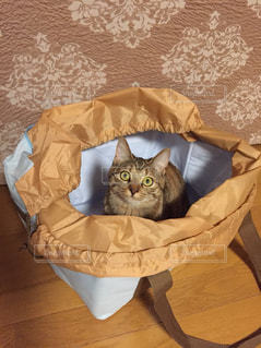 買い物袋の中の猫の写真・画像素材[1335166]