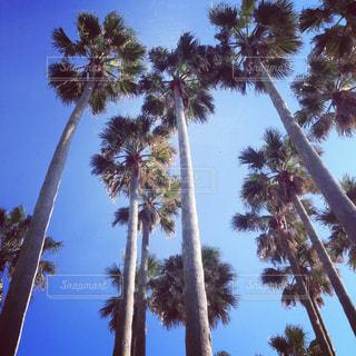 ヤシの木と青い空のグループの写真・画像素材[1333537]