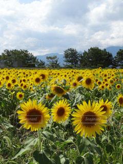 フィールド内の黄色の花の写真・画像素材[1377675]