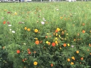 フィールドのカラフルな花の写真・画像素材[1481016]