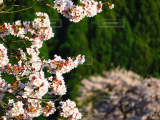 桜とバックの桜の写真・画像素材[2067633]