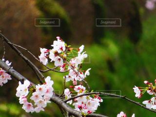 疎水の桜の写真・画像素材[2067655]