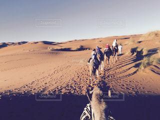 砂漠ラクダの写真・画像素材[1334941]