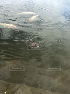 水の下で泳ぐ海亀の写真・画像素材[1332288]