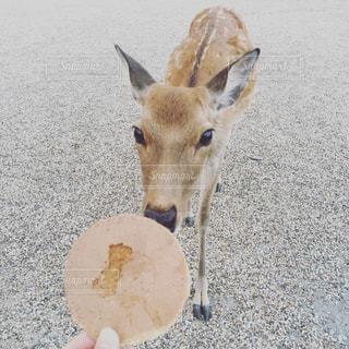 おせんべいを食べに来た鹿さんの写真・画像素材[1852515]