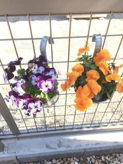 紫とオレンジのビオラの写真・画像素材[1336108]