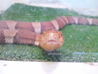 草むらの蛇の写真・画像素材[1331969]