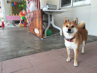 カメラを見て犬の写真・画像素材[1335650]