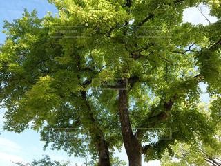 大木の写真・画像素材[1333965]