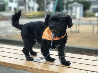 ひもに黒犬の写真・画像素材[1333111]