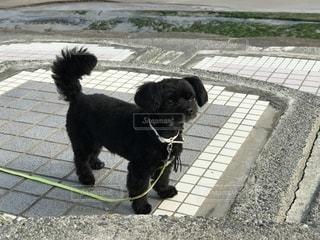ひもに小型犬の写真・画像素材[1336546]