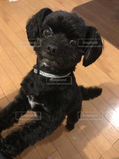 カメラを見てる小さな黒い犬の写真・画像素材[1336827]