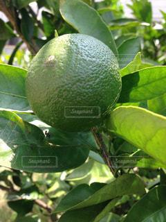 木の枝にぶら下がっている果実の写真・画像素材[1359883]