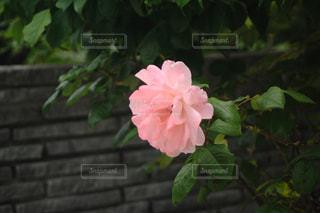 庭咲くピンクのバラの写真・画像素材[1398049]