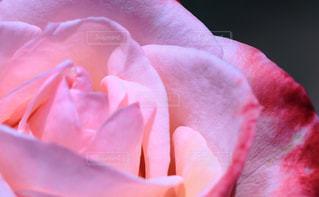バラのアップの写真・画像素材[1400468]