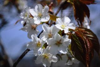 桜のアップの写真・画像素材[1452286]