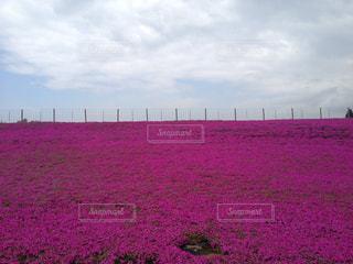 芝桜と空の境の写真・画像素材[1339751]