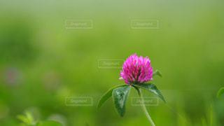 ムラサキツメクサの花の写真・画像素材[1338689]