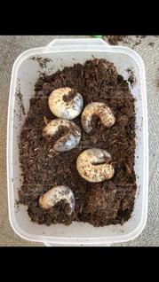 カブトムシの幼虫でいっぱい!の写真・画像素材[1341598]