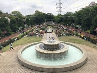 葛飾区富士公園のバラ園の写真・画像素材[1335371]