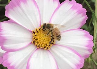 白とピンクのコスモスとみつばちの写真・画像素材[1560938]